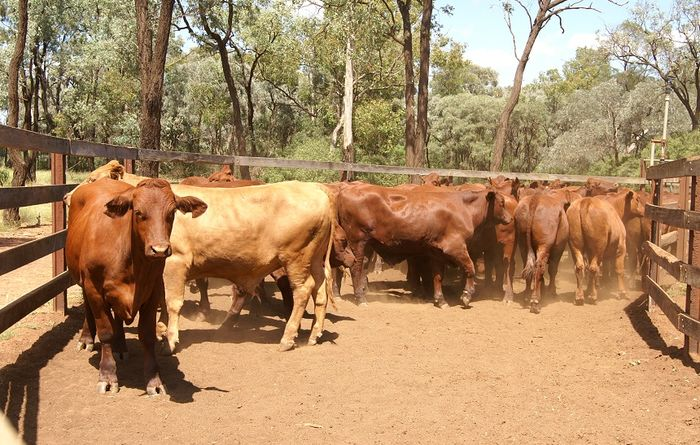 ACCC inquiry shakes up cattle sector