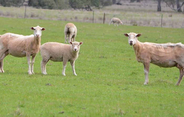 Kangaroo Island rebuilding sheep numbers