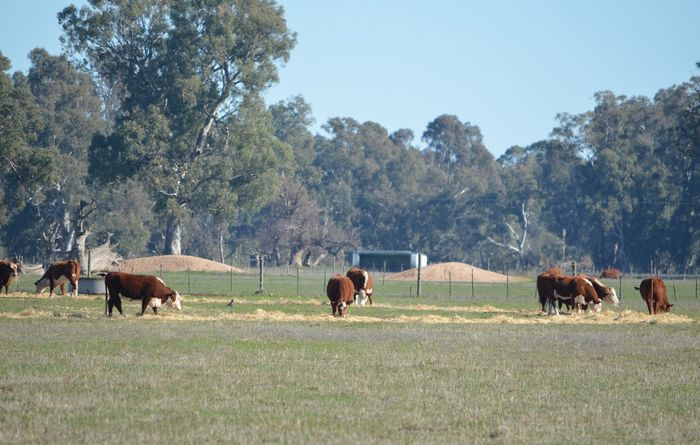 Western Australia gets a taste of record cattle prices