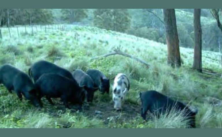 Feral Pig Strategy launched in Western Australia