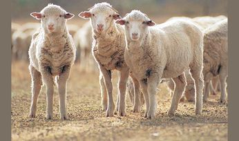 Sheep pneumonia can be costly