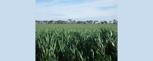 Fungicide resistance detailed in new GRDC podcast