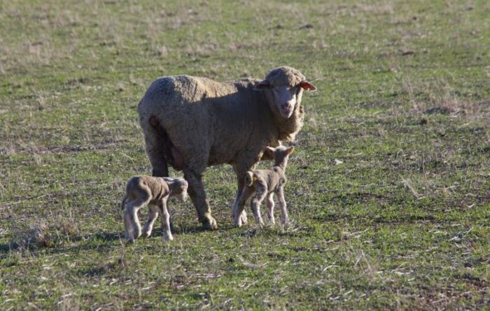 Dual benefit from lamb feeding trial