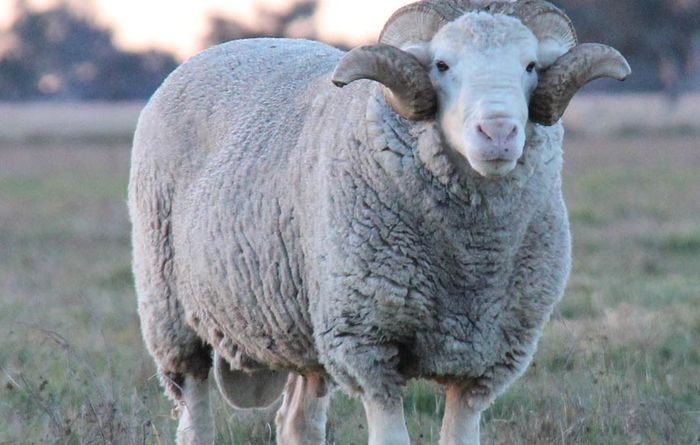Protect your flock from ovine brucellosis
