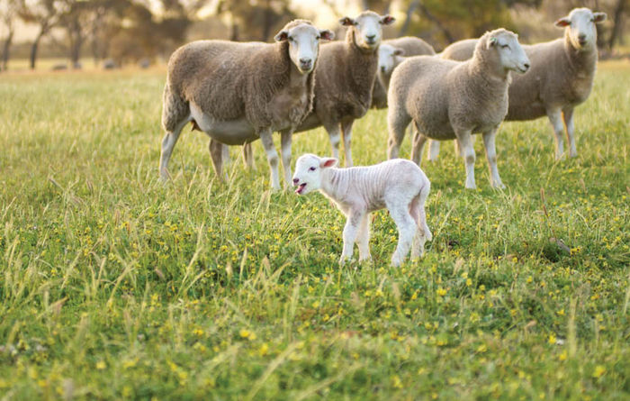 Sheep industry goes from strength to strength