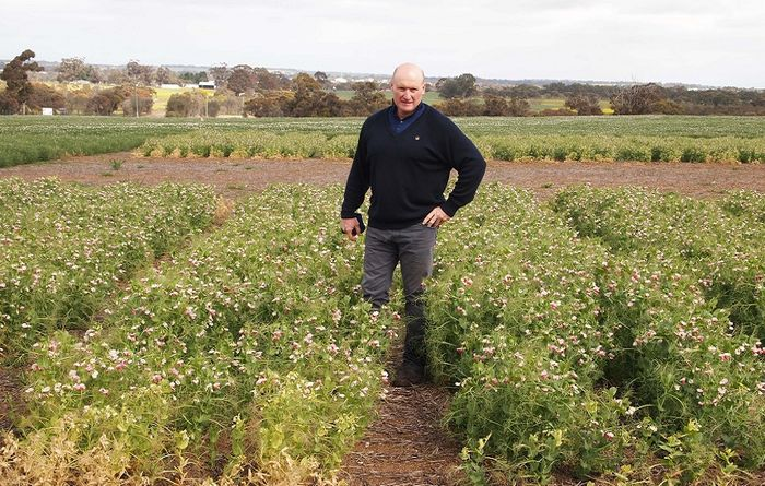 Early sown field peas a boon for yields