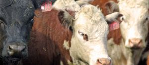 Live export a must for cattle producers