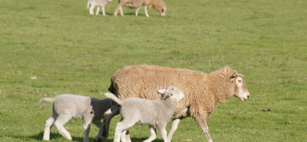 Lamb grazing project yields potential benefits