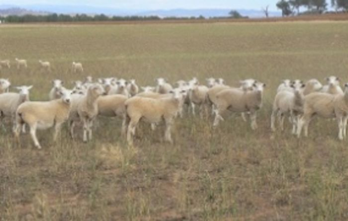 Nutrition and drones key to sheep reproduction