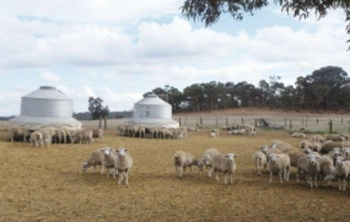 Training improves performance in sheep feedlots