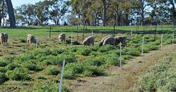New pasture legume hard to fault