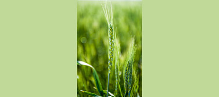 DMI resistance in wheat powdery mildew confirmed in Australia
