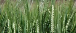 Two new barley varieties accredited