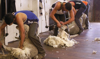 WAFarmers encourages wool growers to nominate 1.5%