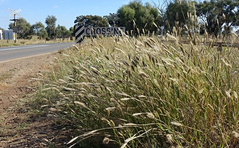 Feathertop Rhodes Grass warning