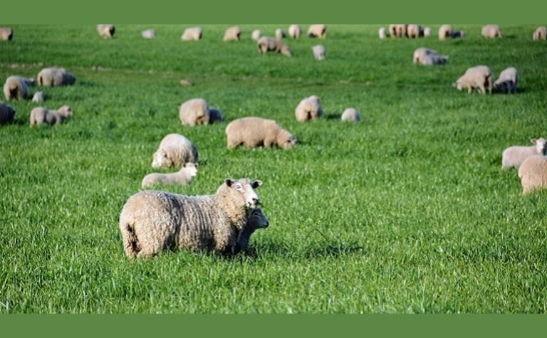 Sheep graziers' alert for trace mineral deficiencies