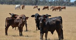 New report highlights opportunity for northern cattle
