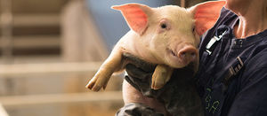 Swine fever overseas may impact Aussie beef