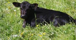 When to castrate beef calves