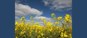 Canola planting expected to increase this year