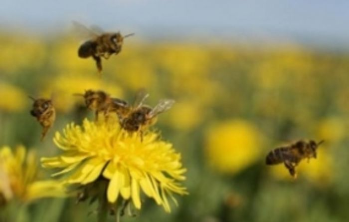Anti-aphid chemical may harm bees
