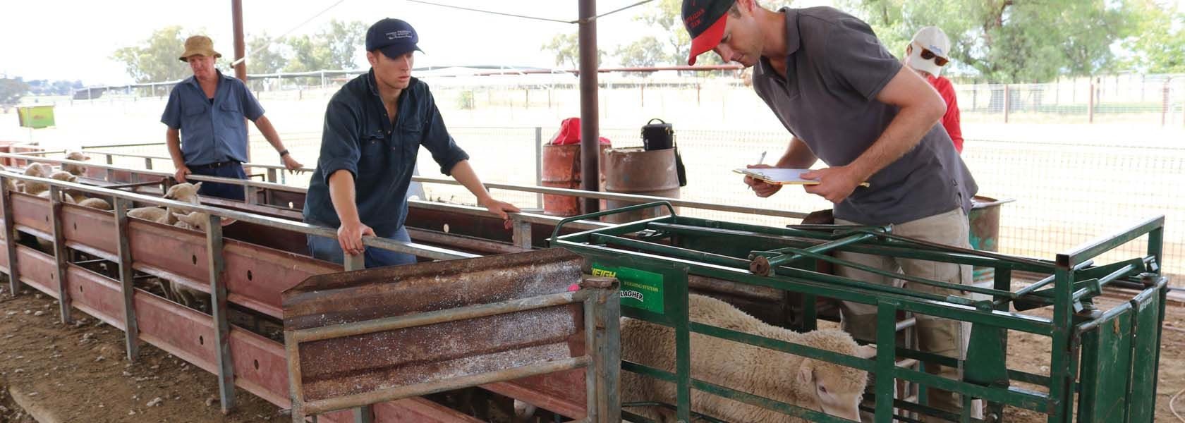 Salt boosts lamb growth rates on lucerne