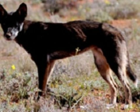 Labor called on to commit to Vic wild dog bounty