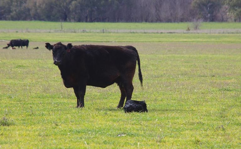 Calf deformities cause concern