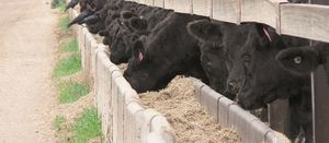 Good practice reduces cattle stress