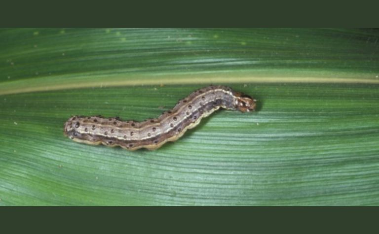 Import of fall armyworm virus is welcomed by the GRDC