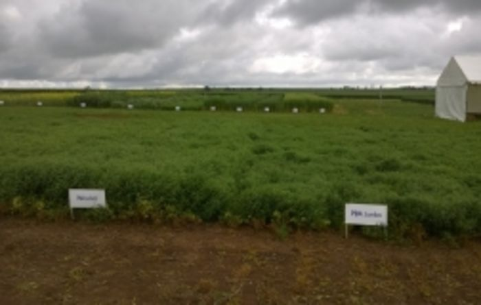 High performing lentil varieties set for release