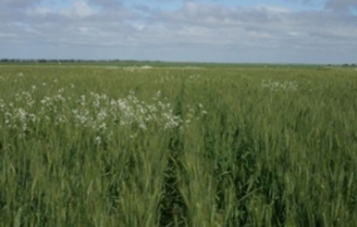 Broadleaf weed survey results revealed for southern NSW