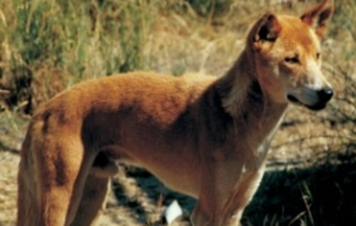 WA wild dog plan open for comment