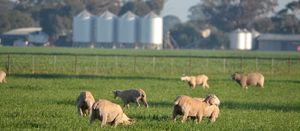 Research reveals non-Merino ewe condition scores for maximising lamb survival rates