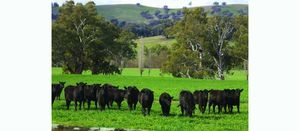 Gap widens between young cattle and heavy steer prices