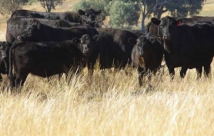 Why hydatids is an issue in cattle too