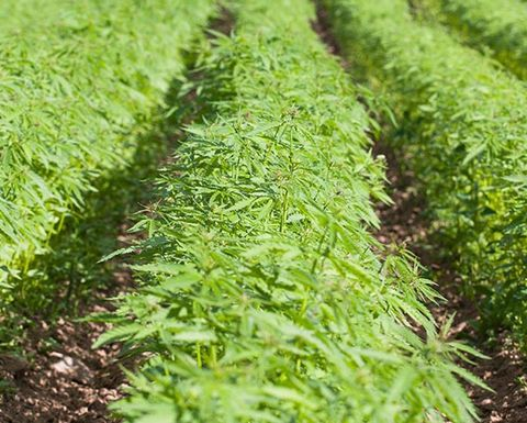 WOA applies for industrial hemp licence