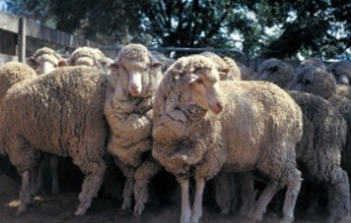 Lamb records expected to fall in 2015