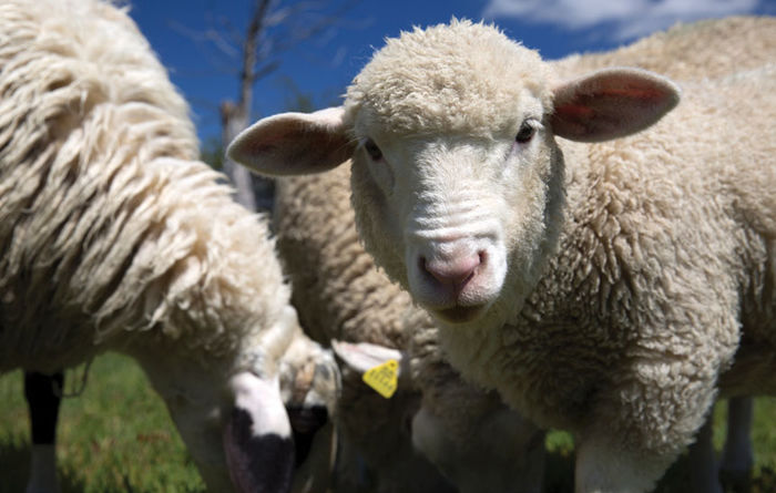 Windfall beckons for Aussie sheep and lamb