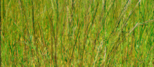 Ryegrass resistance to paraquat grows