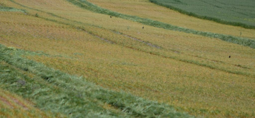 Cut crops for hay or keep for grain?