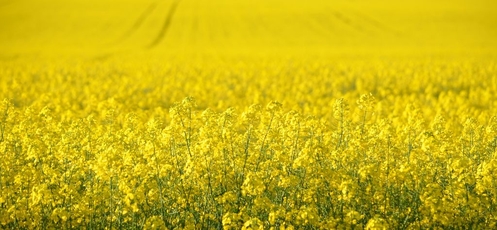 Record canola yield on NSW property
