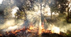 Researchers uncover how invasive plants get a head start after fires