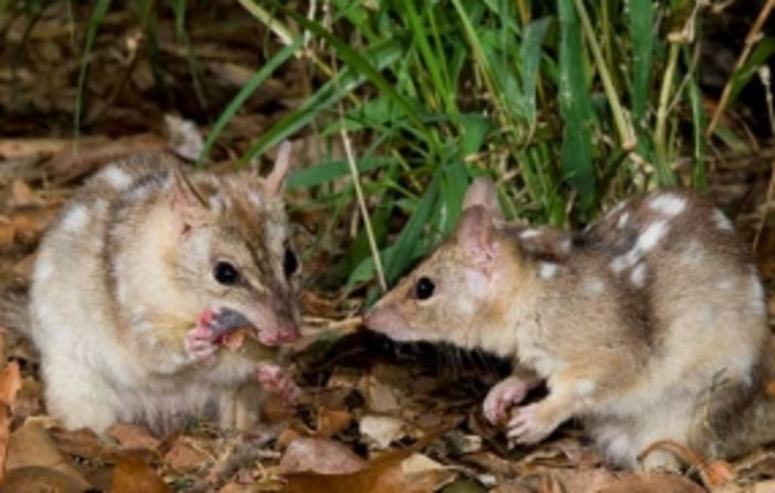 Northern quolls set to undergo cane toad resistance training