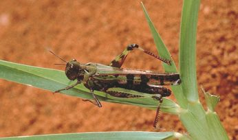 DAFWA: Remember to check paddocks for locusts!