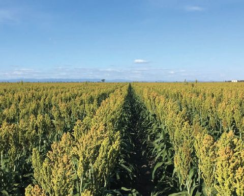 Stay tuned for tips on maintaining sorghum yields in tough seasons