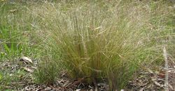 Keep serated tussock under control