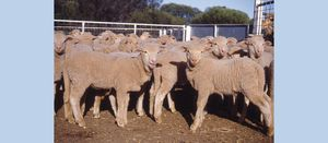 National sheep flock predicted to rebuild in 2021