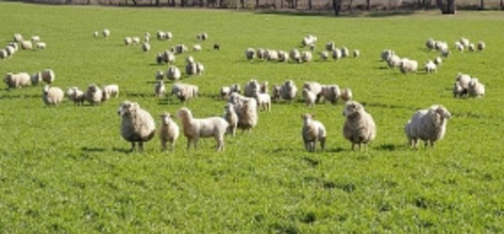 Mineral imbalance in sheep grazing crops