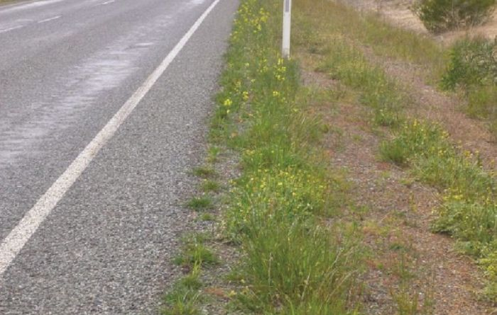 Alarm over roadside GM canola